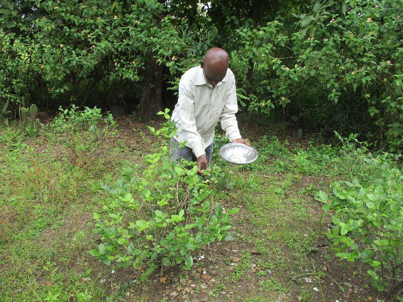 bhaskar harvests jasmine blossoms Jasmine Garlands   A Family Farming Together